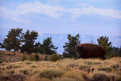 Henry Mountains bison