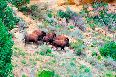 Five bison roam their new home on the Book Cliffs.