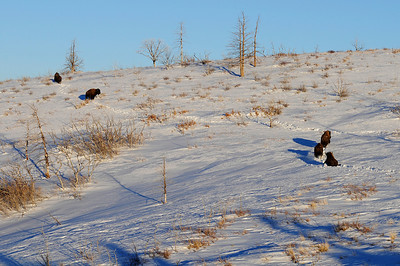Five bison run up a snow-covered slope after being released onto the Book Cliffs.  Photo taken on 1-14-09 by Ron Stewart, Utah Division of Wildlife Resources.