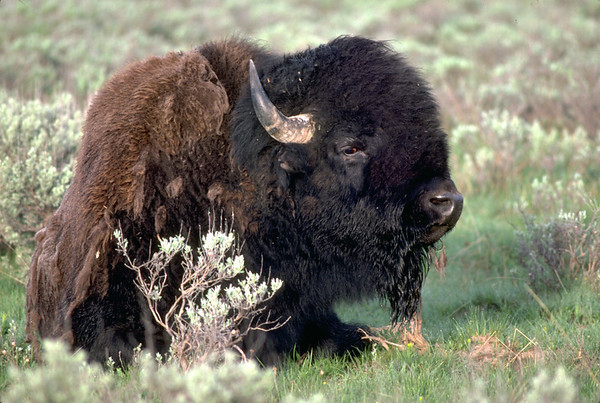 Free-ranging American bison in Utah's Henry Mountains.  Photo by Lynn Chamberlain, Utah Division of Wildlife Resources.