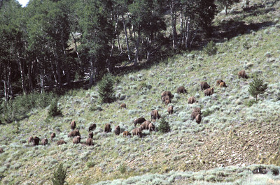 Bison on hillside, Henry Mountains