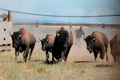Bison are herded into corrals at Hill Creek.