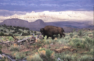 Bison in southeastern Utah's Henry Mountains