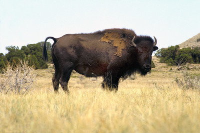 Lone bison on the Henry Mountains, 1989