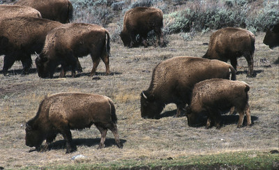 Bison herd in Henry Mountains