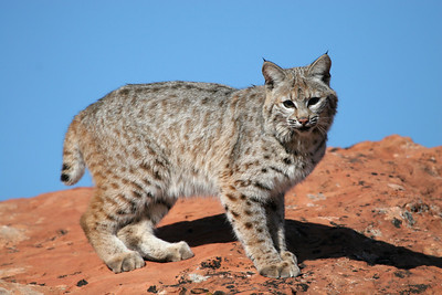 Bob cat in Southern Utah. Photo by Lynn Chamberlain, Utah Division of Wildlife Resources