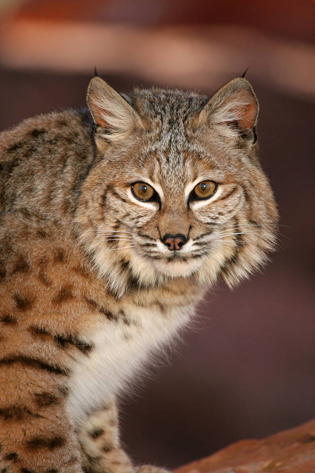 Utah bobcat. Photo by Lynn Chamberlain, Utah Division of Wildlife Resources.