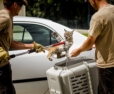 Bobcat relocation