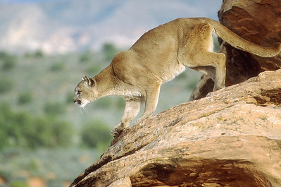 cougar on rocky ledge