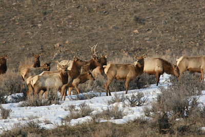 Elk hunt management strategies such as spike only units and limited entry hunts were developed to establish a hierachy to herd bulls. Photo by Phil Douglass
