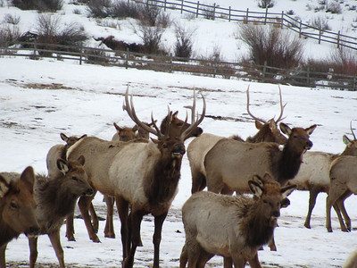 The elk feeding grounds at Utah's Hardware Ranch. Photo taken Dec. 2012 by Amy Canning, Utah Division of Wildlife Resources.