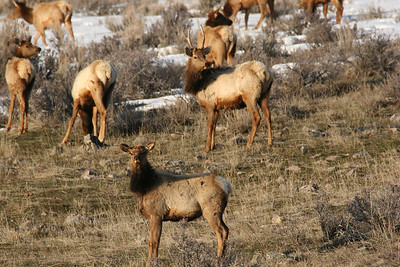 Cow and spike bull elk permits offer young hunters and other beginners an opportunity to hone their skills in learning the habits and habitats of these prized big game animals.  Photo by Phil Douglass.