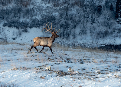Bull elk on the move.