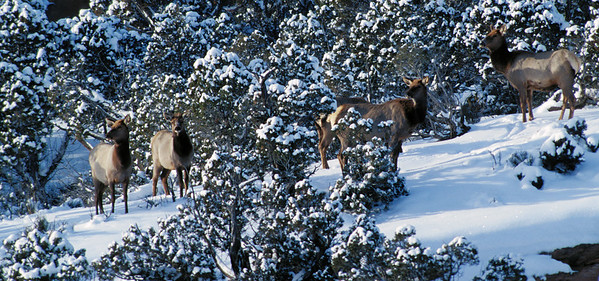 Cow elk in winter