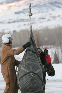 Biologist Clint Brunson steadies a moose hauled in from nearby mountains during a Northern Region moose transplant, 2009. Nineteen moose were moved during this transplant from areas where they posed public safety hazards near freeways and residential areas. Photo by Phil Douglass.