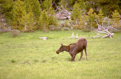 kneeling moose in meadow