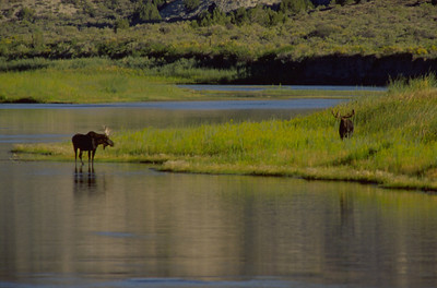 Two bull moose on a river
