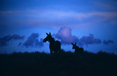 Silhouette of moose at sunset