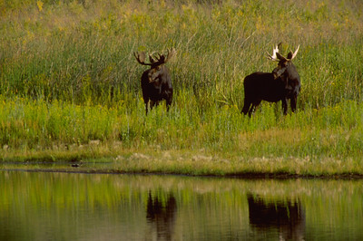 Two bull moose near a river.
