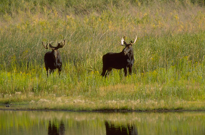 Two bull moose next to a river.