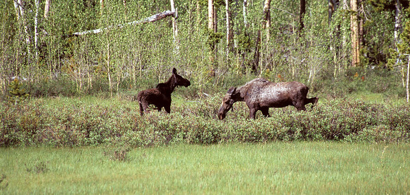 Cow moose and calf in forest