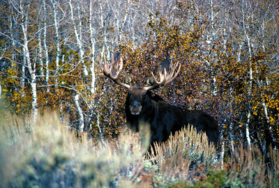 A bull moose in Rich County, UT. Photo courtesy of Utah Division of Wildlife Resources.