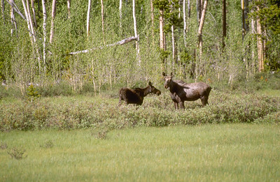 Cow moose with calf in forest