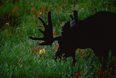 Moose in field of wild flowers by Scott Root, Utah Division of Wildlife Resources