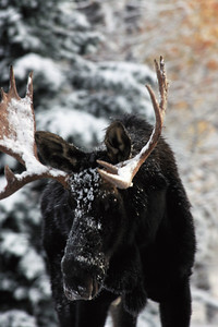 Bull moose covered with snow