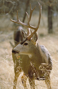 Mule deer buck with full rack.  Photo by Phil Douglass, Utah Division of Wildlife Resources.