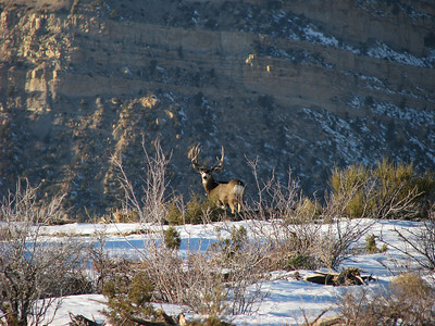 Buck poses against a rimrock backdrop in Carbon County, Utah. Photo by Mike Keller on 1-15-09, courtesy of the Utah Division of Wildlife Resources.