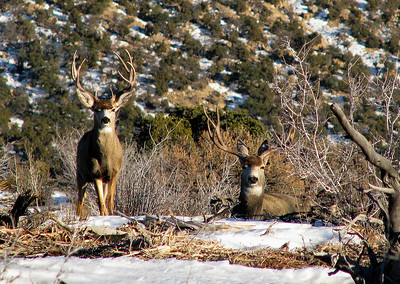 A pair of bucks are at rest in Carbon County, Utah.  Photo by Mike Keller on 1-20-09, courtesy of Utah Division of Wildlife Resources.