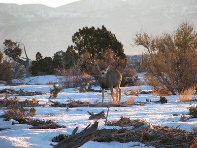 Buck in mixed brush community in Carbon County, Utah.  Photo by Mike Keller on 1-16-09, courtesy of Utah Division of Wildlife Resources