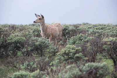 A doe with her brand new fawn. Photo by Ron Stewart, Utah Division of Wildlife Resources.