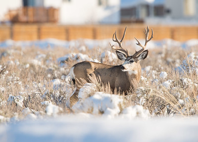 Buck in snow.