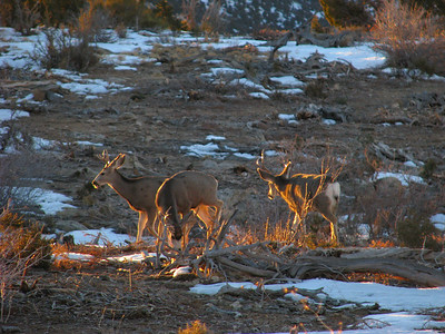 Early a.m. mule deer bucks feed in former chaining in Carbon County, Utah.  Photo by Mike Keller on 1-16-09, courtesy Utah Division of Wildlife Resources