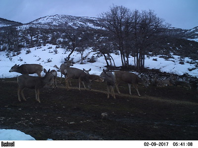 Mule deer using the deer feeding station