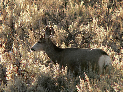 Small backlit buck in sagebrush in Carbon County, Utah.  Photo by Mike Keller on 1-21-06, courtesy of the Utah Division of Wildlife Resources.