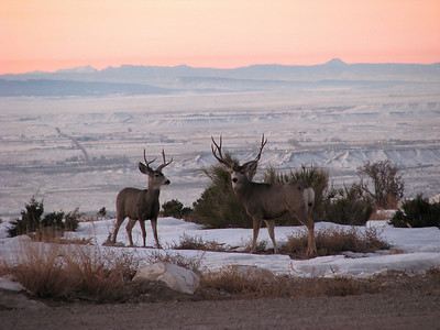 Mule deer bucks stand on hilltop above Castle Country, Carbon County, Utah.  Photo by Mike Keller on 1-16-09, courtesy of Utah Division of Wildlife Resources