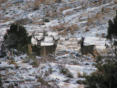 Buck and does in mixed shrub habitat in Carbon County, Utah.  Photo by Mike Keller on 1-26-09, courtesy of Utah Division of Wildlife Resources.