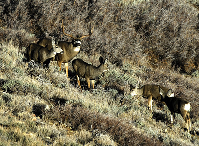Rutting Mule Deer buck with does on the Henry Mountains. Photo by Bill Bates on 11-3-06, Utah Division of Wildlife Resources.