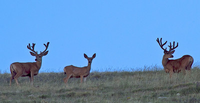Mule deer on Henry Mountains