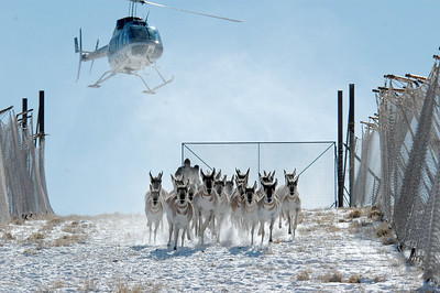 Small groups of pronghorn are collected and driven into the trap by helicopter. Photo by Lynn Chamberlain, Utah Division of Wildlife Resources