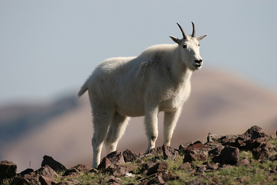 Mountain goat on the Tushar Mountains, Utah.  Photo by Lynn Chamberlain, Utah Division of Wildlife Resources.