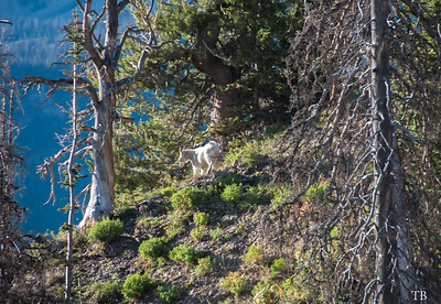 Counting mountain goats from a helicopter along the Wasatch. Photo by Tom Becker, Utah Division of Wildlife Resources.