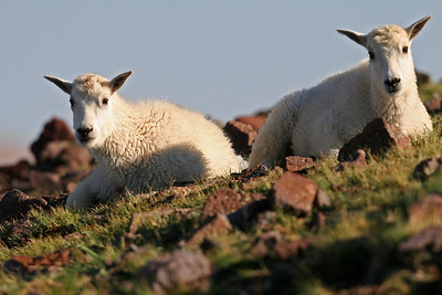 Two mountain goat lambs on the Tushar Mountains.
