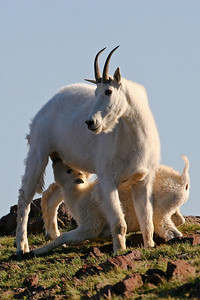 A mountain goat ewe feeds her lamb.