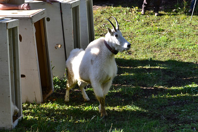 A collared mountain goat leaving the crate shortly after being transplanted from the Tushar Mountains to the La Sal Mountains. Photo taken Sept. 2013.