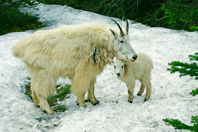 A mountain goat ewe with her lamb.