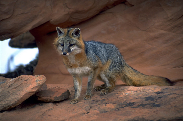 The common gray fox, Urocyon cinereoargenteus, is native to woodland and shrubland habitats of central and southern Utah. The range of the species also includes much of the rest of the United States and Mexico.  Photo by Lynn Chamberlain, Utah Division of Wildlife Resources